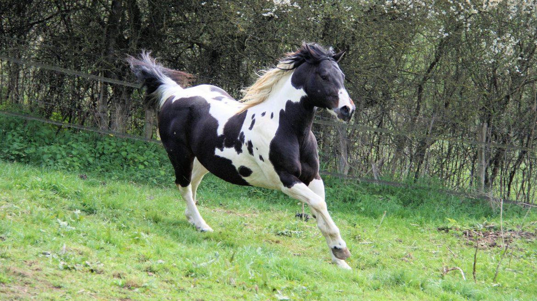 saltusienne paint horses quarter horses