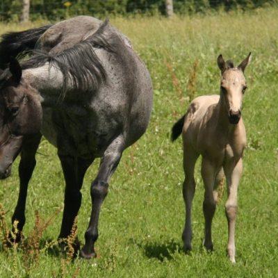 POULAIN QUARTER HORSE BUCKSKIN